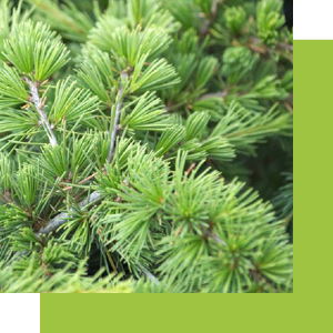 Cedar is a tree whose essence is used in perfumery to bring woody notes to a composition.