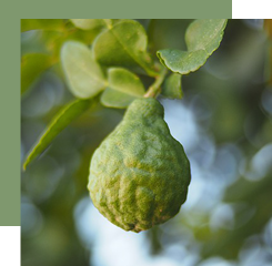 Bergamot is a citrus whose essential oil is used to bring freshness and acidity to a perfume.