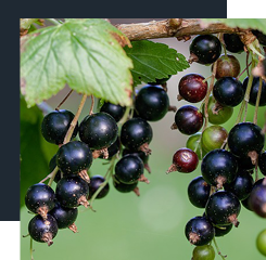 Blackcurrant is a black berry with green and fruity notes