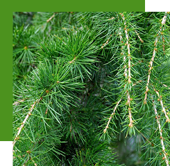 Cedar is a coniferous tree whose essential oil is used in many compositions for its woody, dry and resinous notes