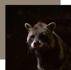 The civet is an animal raw material, now reproduced thanks to the synthesis