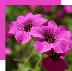 Geranium is used in perfumery thanks to its essential oil whose smell is lemony and green