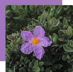 labdanum is a shrub covered with resin that is used as a fixative