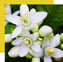 Neroli is the essential oil that comes from the distillation of the flower of the bitter orange, not to be confused with the orange blossom that is not obtained in the same way