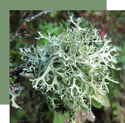 The oakmoss is a lichen found on different trees and whose very complex perfume is often used as a fixative in the base note