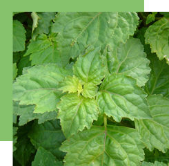 Patchouli, an ingredient dear to our heart and nose, comes from a tropical plant. Its characteristic smell is woody and earthy