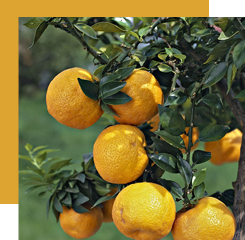 The essential oil of petitgrain also comes from the bitter orange, but this time we obtain it by the hydrodistillation of these leaves