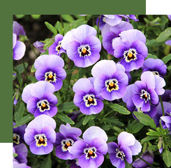 The violet is used in several ways in perfumery: we can extract the absolute of its leaves but not of its flowers, whose fragrance is synthetically reproduced