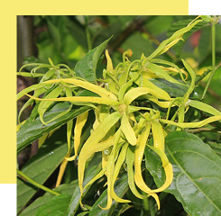 ylang-ylang has a very powerful perfume with complex notes both powdered, fruity and also floral
