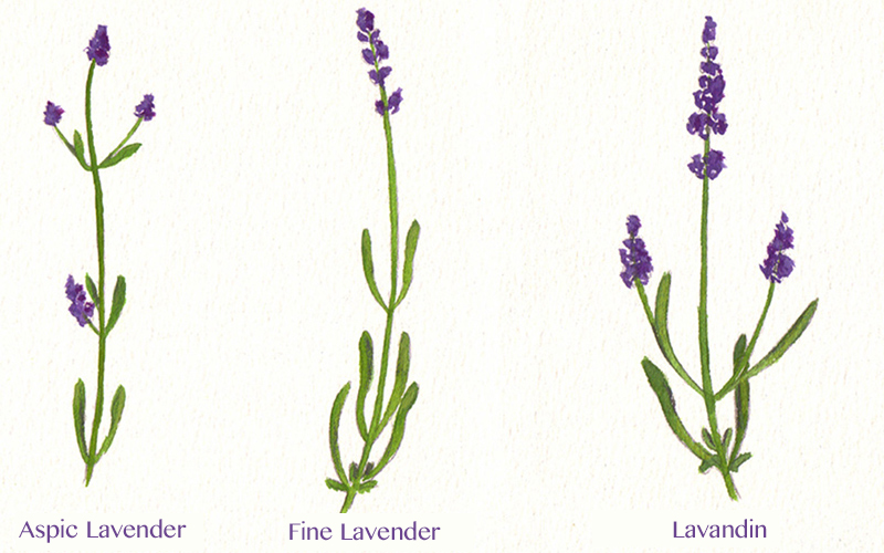 The different varieties of lavender, used in perfumery