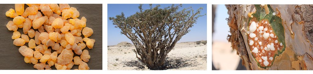 The origin of the incense comes from the south of the Arabian Peninsula in particular where we find the incense tree, the boswellia sacra