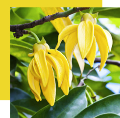 ylang-ylang flowers are native to the Philippines.