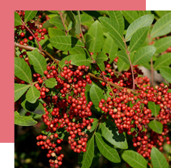 Pink berries are native to South America and are widely used in perfumery.