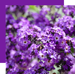 the heliotrope is a small flowering shrub with a rather complex smell