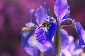 Iris: blue gold of perfumery