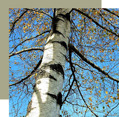 birch is a fragrant wood from which birch tar is extracted