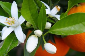 The orange blossom, adored and perfumed