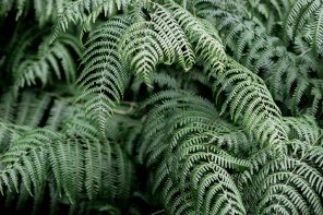 The fern accord in perfumery