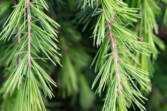 Cedar is an ingredient of choice for perfumers, it is found in many fragrances