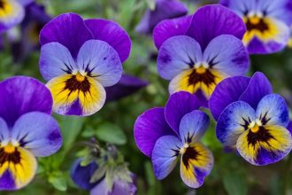 The notes of the violet are reproduced thanks to synthetic molecules called ionones