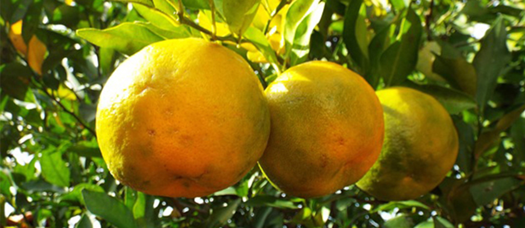 Bergamot is a citrus fruit whose fresh and fruity essence has been appreciated by noses for centuries