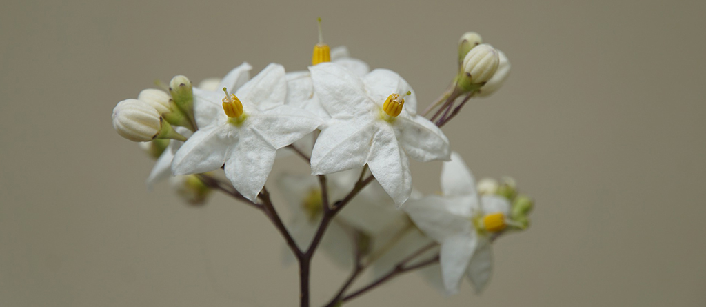 Jasmine is a white flower with great olfactory powers
