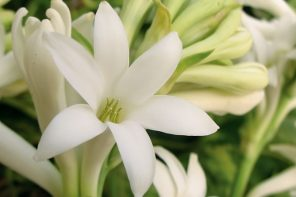 The tuberose, narcotic charmer