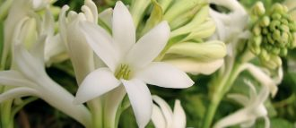 the tuberose is a white flower with a bewitching perfume and a sensual charm